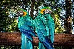 Par av macawpapegojor Arkivfoton