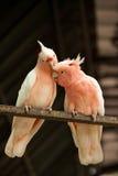Par av Major Mitchell papegojor Royaltyfria Foton