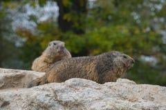 Par av murmeldjur Arkivbild