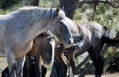 Par av mustanghästar i South Dakota USA arkivbilder