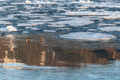 Par av nordliga shovelers bland att sväva is i vatten med går royaltyfria foton