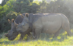 Par av noshörning Royaltyfria Bilder