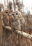 Par av owls Fotografering för Bildbyråer
