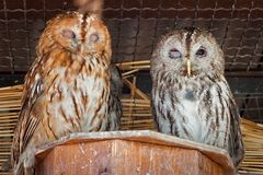 Par av owls royaltyfri fotografi