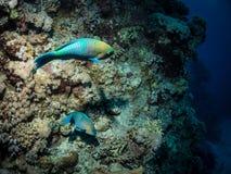 Par av parrotfishen Arkivfoton