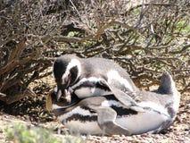 Par av pingvin som kopulerar i Chubut, Argentina arkivbild