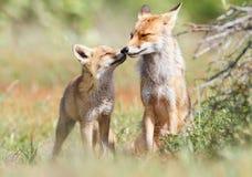 Par av röda rävar som nuzzling Arkivbild
