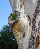 Par av regnbågelorikeets, vetenskaplig känd Trichoglossusmoluccanus som granskar en fördjupning för eukalyptusträd för ett potent arkivbild