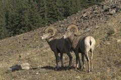 Par av Rocky Mountain Sheep RAM på lutning i Alberta royaltyfria foton