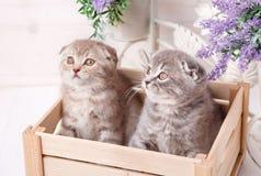 Par av roliga skotska kattungar som sitter i träboxanden och ser upp Arkivfoto