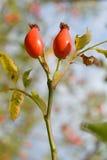Par av rosa höft & x28; lat Rosa Canina & x29; Royaltyfri Fotografi