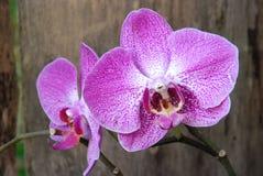 Par av rosa orkidér Arkivfoto