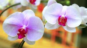 Par av rosa orkidér Fotografering för Bildbyråer