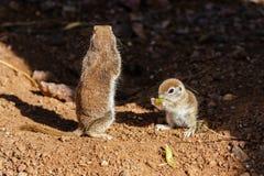 Par av runda Tailed jordningsekorrar; moderanseendevakten, medan behandla som ett barn, äter Arkivfoto