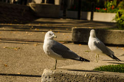 Par av sätta sig seagulls Arkivbild