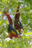 Par av scharlakansröda aror - munkhättor Macao - Corcovado nationalpark, Costa Rica fotografering för bildbyråer