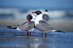 Par av seagulls Royaltyfria Foton
