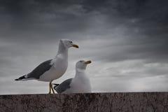Par av seagulls Fotografering för Bildbyråer