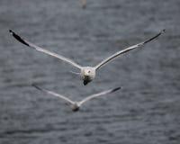Par av seagulls i flykten arkivbild