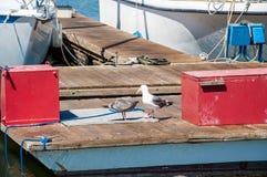 Par av seagullslaruscalifornicus på en sväva skeppsdocka med fiskebåtar i bakgrunden fotografering för bildbyråer