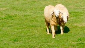 Par av sheeps går på en solig grön saftig äng stock video