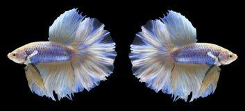 Par av Siamese stridighetfiskar för Halfmoon Arkivfoto