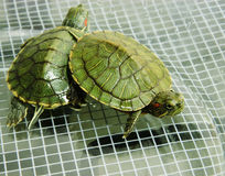 Par av sköldpaddor Royaltyfri Foto