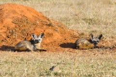 Par av Slagträ-gå i ax rävar bredvid termitkullen Royaltyfria Bilder
