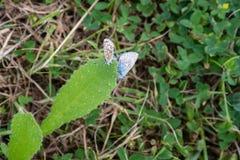 Par av små fjärilar av bladet Arkivbild
