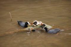 Par av sothönor med fågelungar Royaltyfri Bild