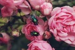 Par av spyflugor på en Rosebush arkivfoton