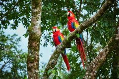 Par av stora scharlakansröda aror, munkhättor Macao, två fåglar som sitter på filialen Par av arapapegojor i Costa Rica royaltyfri foto