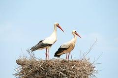 Par av storkar på deras rede Arkivfoto