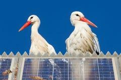 Par av storks som plattforer på en sol- panel Arkivbild