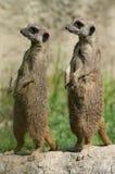 Par av suricates Royaltyfri Fotografi