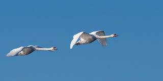 Par av svanar i flykten Fotografering för Bildbyråer