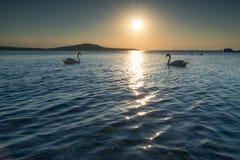 Par av svanar i havet på solnedgången Arkivfoto