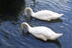 Par av svanar i sjön Arkivbilder
