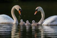 Par av svanar med tre unga svanar i en familjenhet Arkivbilder