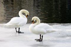 Par av svanar på en isisflak Royaltyfri Fotografi