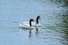 Par av Svart-hånglade svanar royaltyfri bild