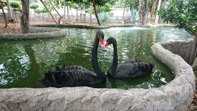 Par av svarta svanar royaltyfri foto