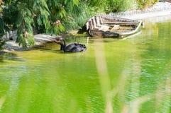 Par av svarta svanar Arkivbilder