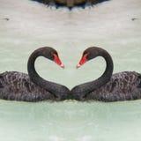 par av svarta svanar som bildar en hjärta med reflekterande effekt royaltyfri bild