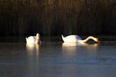 Par av swans som simmar i laken royaltyfria bilder