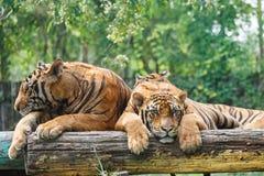 Par av tigrar Arkivbilder