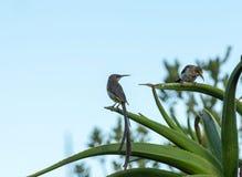 Par av uddesockerfåglar, promeropskafé som sitter på aloeväxten Royaltyfri Bild