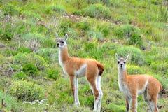 Par av unga Guanacos i Patagoniafälten Royaltyfri Fotografi