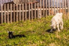 Par av ungar betar bak staketet, häck arkivbild