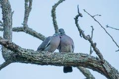 Par av utomhus- gråa duvor arkivfoto